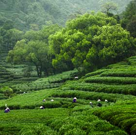 mei jia wu- one of the original longjing tea producing areas