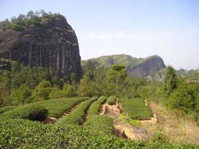 tea garden in wuyi mountain