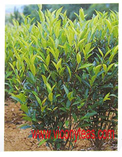Chinese Camellia Sinensis Plant