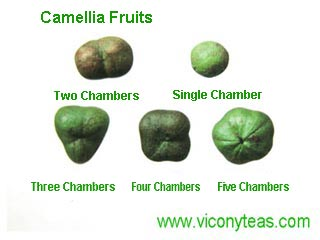 camellia fruits | tea fruits