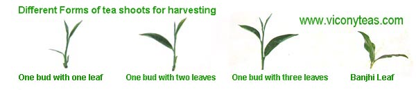 Different forms of tea shoots for harvesting