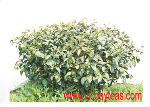 Camellia shrub | Tea Shrub