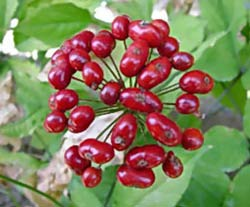Ginseng Fruit