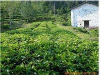 tea-growing-area-3