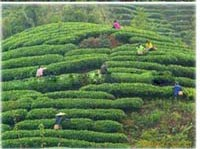 tea-growing-area-4