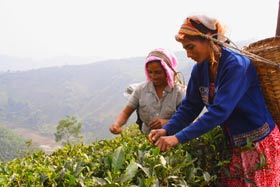 darjeeling tea hand plucking