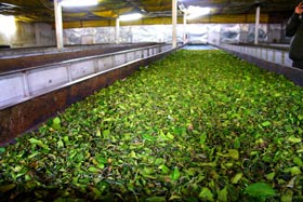 withering process of darjeeling tea